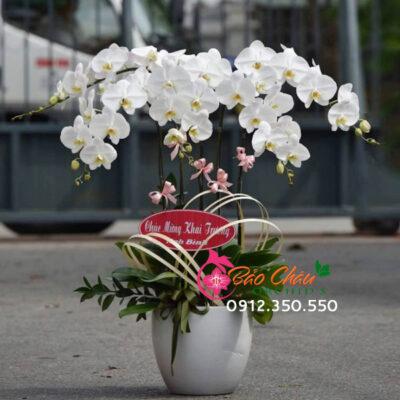Chậu hoa lan trắng 5 cành tặng khai trương