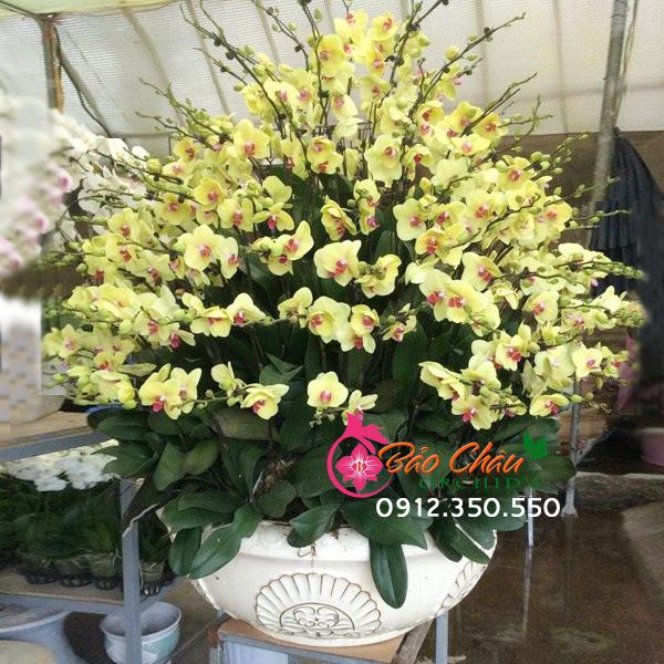 Chậu hoa lan vàng siêu khủng