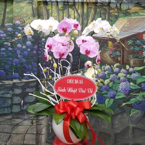 Chậu hoa lan 5 cành trắng phối hồng đẹp