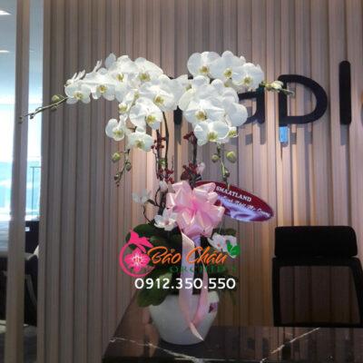 Chậu hoa lan trắng 4 cành tặng sinh nhật sếp
