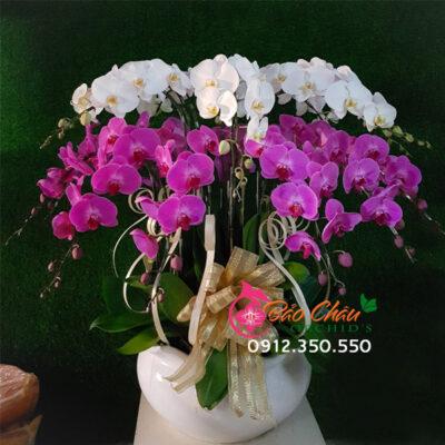 Chậu hoa lan hồ điệp đẹp 25 cành trắng tím