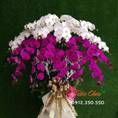 Chậu hoa lan trắng tím 20 cành siêu đẹp