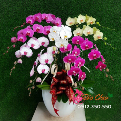 Chậu hoa lan đa sắc đẹp 9 cành