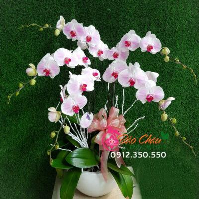 Chậu hoa lan hồng phấn 5 cành