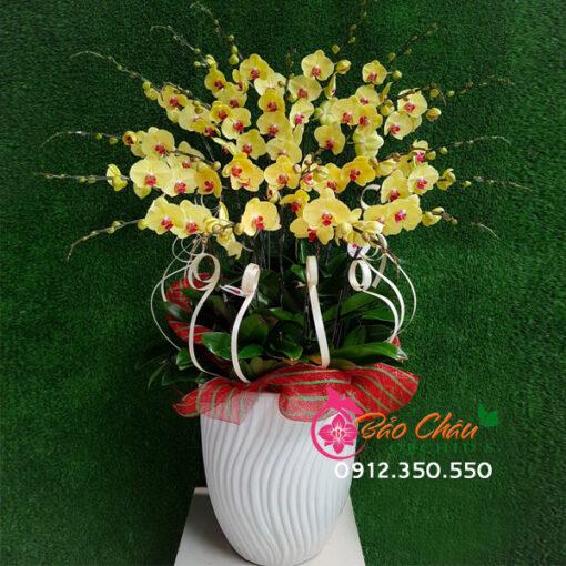 Chậu hoa lan vàng đẹp tặng khai trương