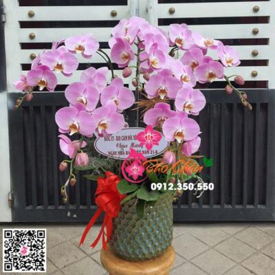 Chậu hoa lan hồ điệp màu hồng phấn siêu đẹp 5 canhfd đẹp