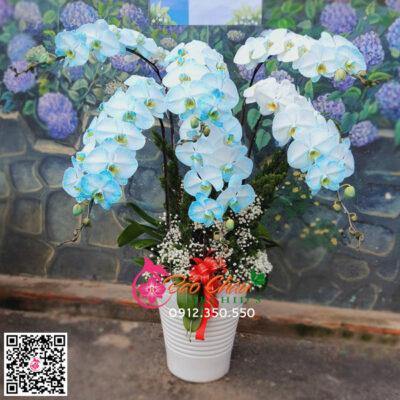 Hoa lan hồ điệp màu xanh siêu đẹp