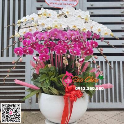 Chậu hoa lan hồ điệp đẹp 20 cành phối màu
